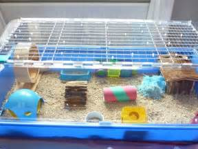 hamsters guinea pigs and syrian hamster on pinterest