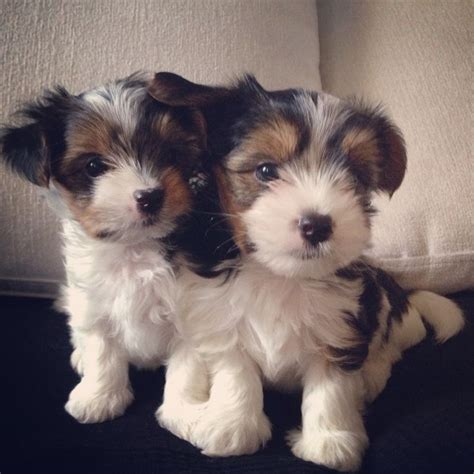 biewer terrier puppies 25 best ideas about teacup yorkie on yorkie teacup puppies