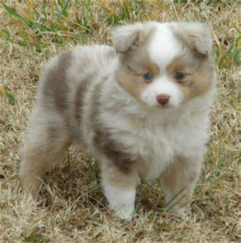 blue merle miniature australian shepherd puppies for sale 25 best ideas about mini australian shepherds on mini aussie mini aussie