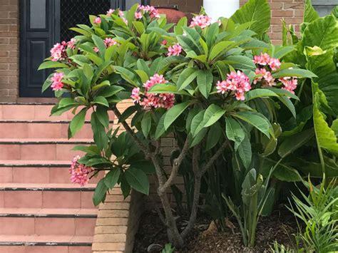 frangipane fiore plumeria rubra frangipani world of flowering plants