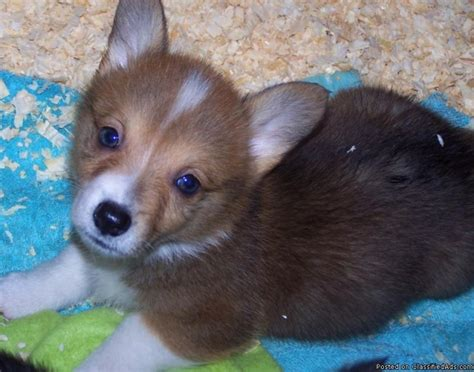corgi puppies price akc pembroke corgi puppies price 700 00 for sale in brookings oregon your