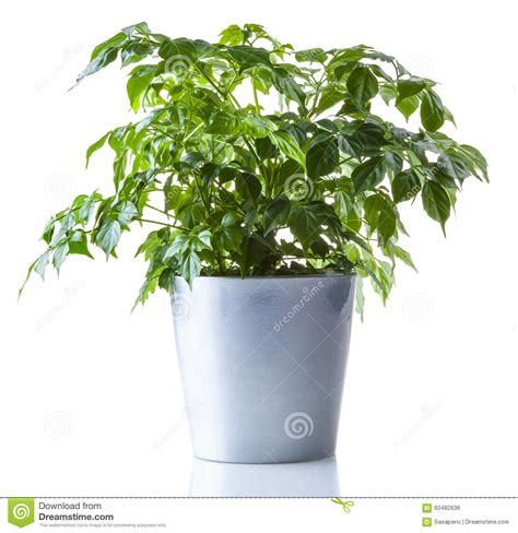 small potted plant isolated on white stock photo image potted plant isolated stock photo image 60482636