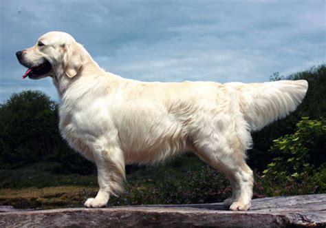 golden retriever pedigree database linirgor mactavish