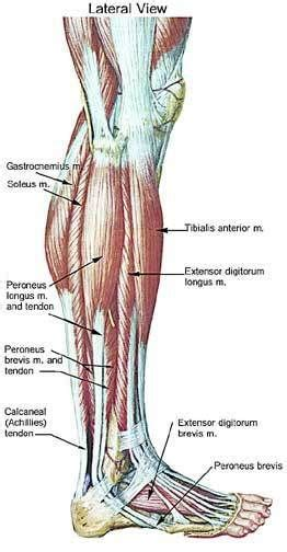 calf pain after c section lower leg muscle chart leg muscle anatomy pain doesn t