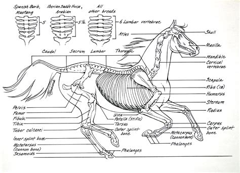 horse skeleton coloring page tips on how to ride horse anatomy 4 9 2013