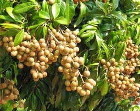 wallpaper bunga pohon dan buah 16 tips agar pohon kelengkeng cepat berbuah lebat pupuk