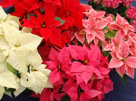 flower homes poinsettia flowers