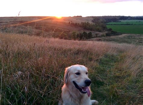 two year golden retriever golden retriever for sale 2 year coatbridge lanarkshire pets4homes