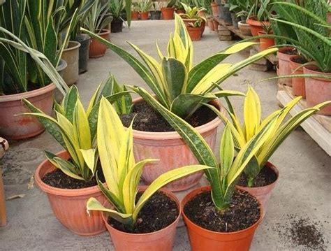 Bucephalandra Kota Batu Tanaman Hias Aquascape jual tanaman sansevieria gold bibit