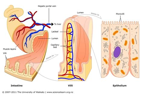 diagram of the intestines villi in the small intestine science learning hub
