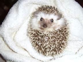i spy animals hedgehogs as pets
