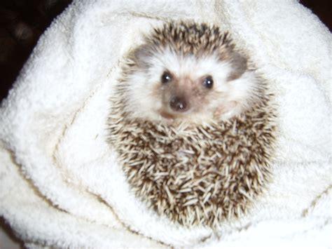 pygmy hedgehog hedgehogs recipe dishmaps