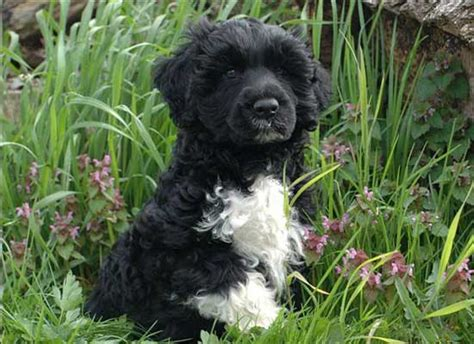 pwd puppies 8 awesome facts about portuguese water dogs