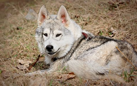 strong and majestic wolf broad backgrounds for