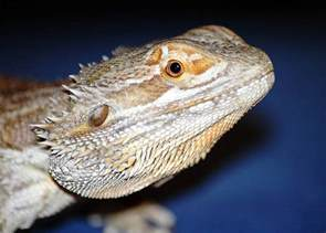 bearded dragons blamed for salmonella outbreak popular