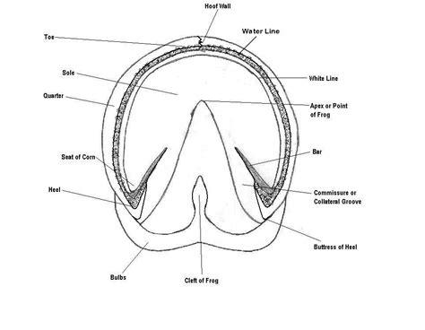 hoof diagram foot anatomy diagram wallpaper