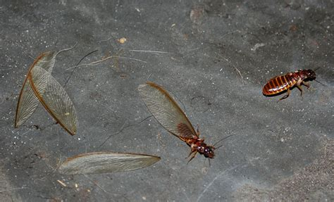 Insects That Shed Their Wings by File Termites Shedding Wings Jpg