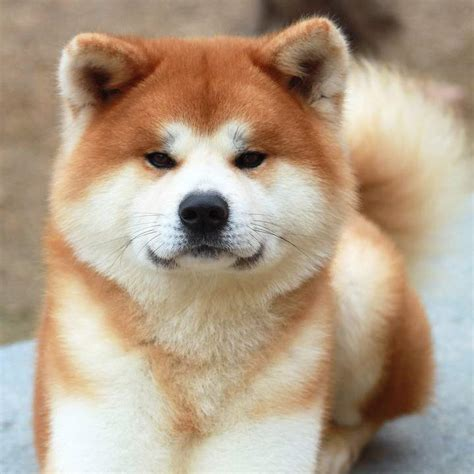 pictures of akita puppies akita inu puppies puppy gallery