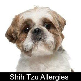 shih tzu ear problems shih tzu allergies everything you must