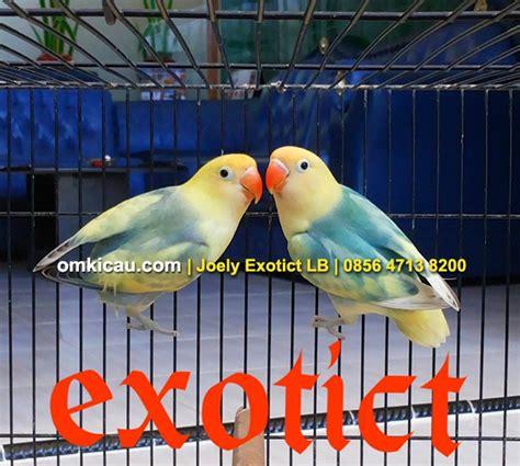 Harga Lovebird Clear Pied ragam lovebird parblue di indonesia dan kisaran harga saat
