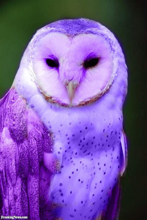 Owl Purple by Purple Owl Related Keywords Suggestions Purple Owl