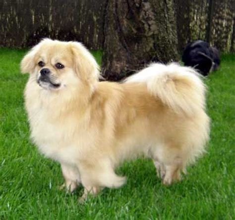 pomeranian spaniel tibetan spaniel tibetan spaniel they come in a variety of colors jasper