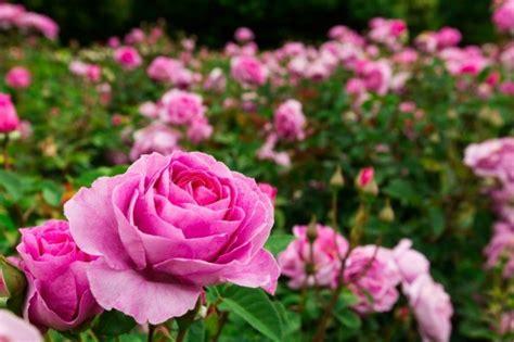 atractiva  rosas de jardin #1: pink_roses_l1.jpg