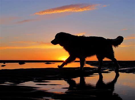sunset golden retrievers golden retriever at sunset by zwitserw photo weather underground