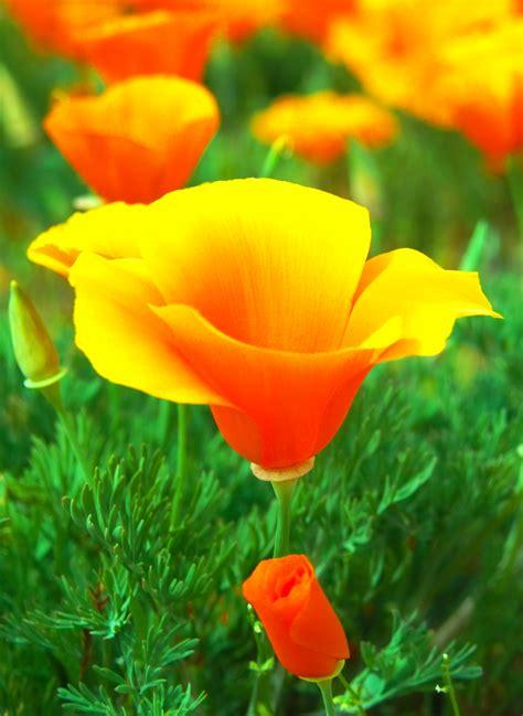 california poppy california poppy loves pinterest