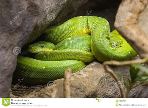 imagenes de serpientes verdes serpientes verdes fotos de archivo libres de regal 237 as