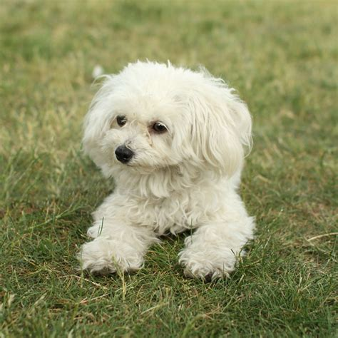 lifespan maltese poodle mix best poodle mixes home types