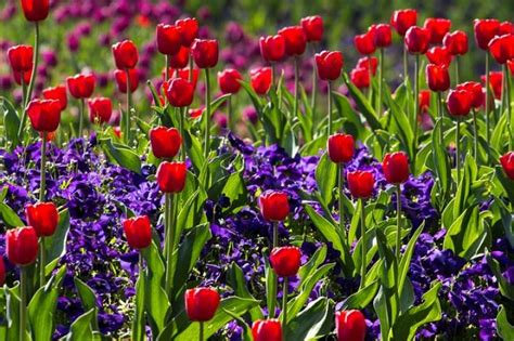 tulips how to plant grow and care for tulip flowers