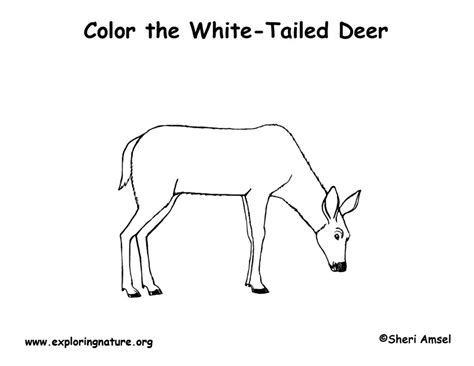 coloring pages whitetail deer deer white tailed coloring page