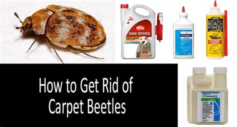 How To Get Rid Of Carpet Beetles In Bedroom by How To Get Rid Of Carpet Beetles Top 7 Best Sprays Traps