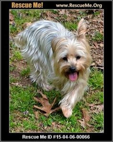 carolina yorkie rescue 1000 images about found dogs nc on carolina pet names and zip code