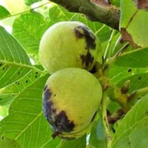 bloemen ziektes de walnotenboom en voorkomende ziekten dier en natuur