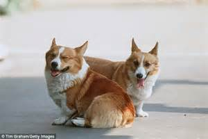 how much is a corgi puppy corgis are dying out because they are seen as an