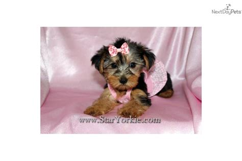 teacup yorkie rescue illinois tiny teacup yorkies rescue breeds picture