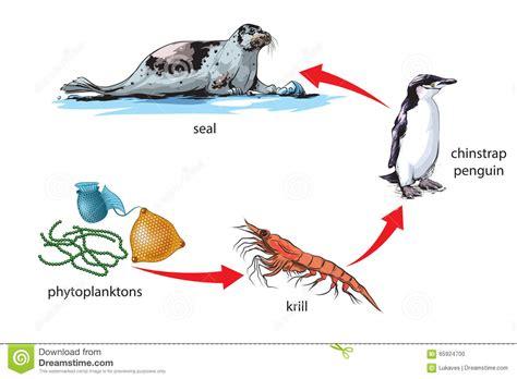 cadena alimenticia krill food chain stock vector image of pyramid antarctica