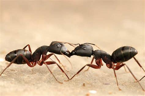 black ant ants enviroguard