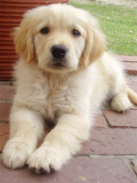golden retriever that stays a puppy fluffy puppy by lorna ann8 on deviantart