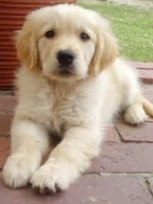 fluffy golden retriever fluffy puppy by lorna ann8 on deviantart