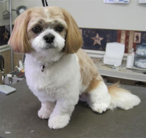 groom hair sty puppy cut shih tzu www pixshark com images galleries