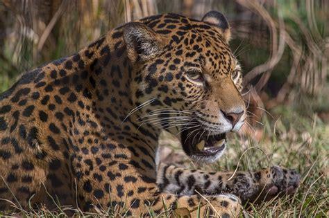 imagenes jaguar felino fondos de pantalla grandes felinos jaguar contacto visual