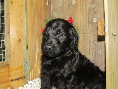 goldendoodle puppy nyc puppies for sale goldendoodle goldendoodles f