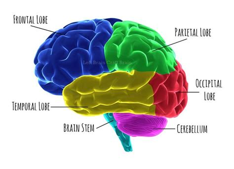 human brain sections 17 best ideas about human brain parts on pinterest human
