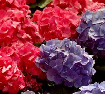ortensia fiore ortensia