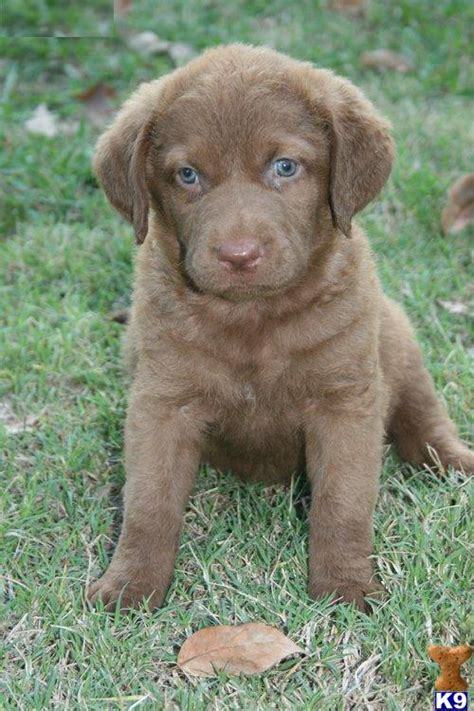 chesapeake for sale chesapeake bay retriever puppies for sale 24302