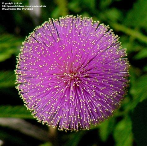 plantfiles pictures sunshine mimosa powderpuff
