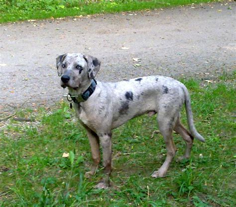 louisiana catahoula leopard 160 best carahoula leopard images on leopard doggies and dogs